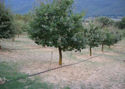 Tartufaia coltivata di Tuber melamosporum Vittad