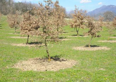 Tartufaia coltivata di Tuber melanosporum Vittad