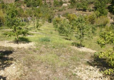 Tartufaia coltivata di Tuber melanospotum Vittad